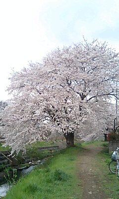 桜 2007
